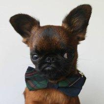 grumpy-dog-in-bowtie
